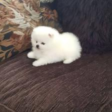 Available Pomeranian for Sale