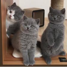 Ragdoll & British shorthair kittens