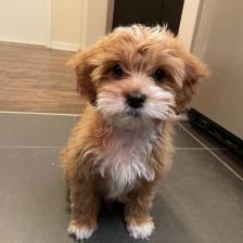 Beautiful Cavapoo puppy for sale male only