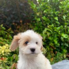 Beautiful Cavachon puppy for sale
